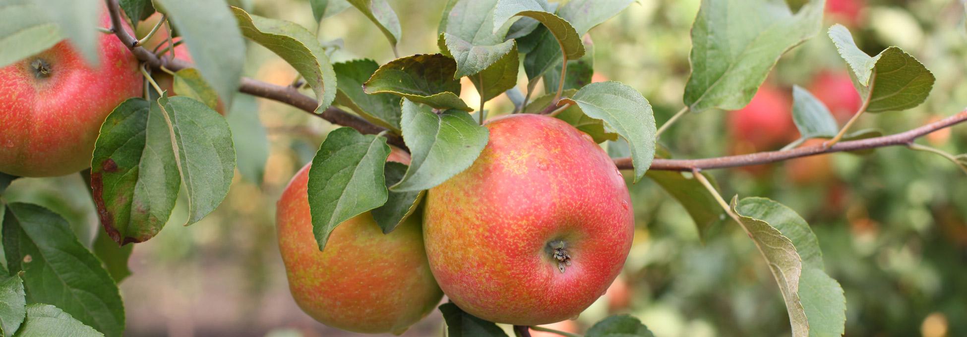 trigs-homepg-honeycrisp-apples-2.jpg